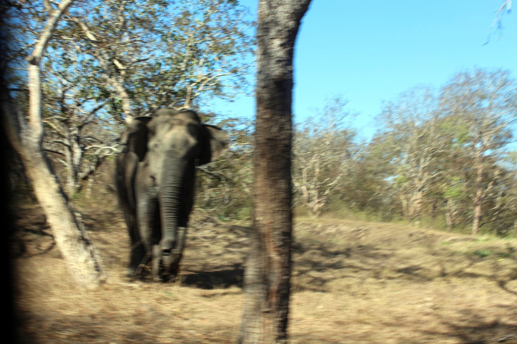 The wild elephant who was afraid of safari bus first, but then charged us.