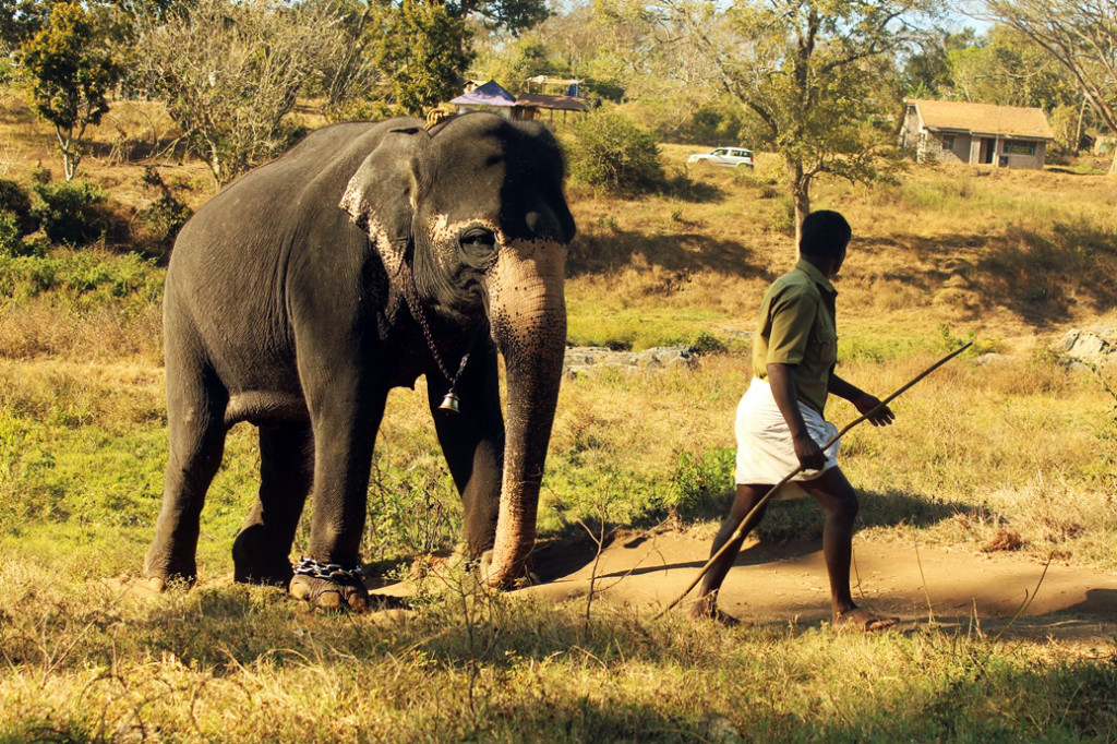 Everything is under protection! Even this man who chains and takes the elephant away from its family.