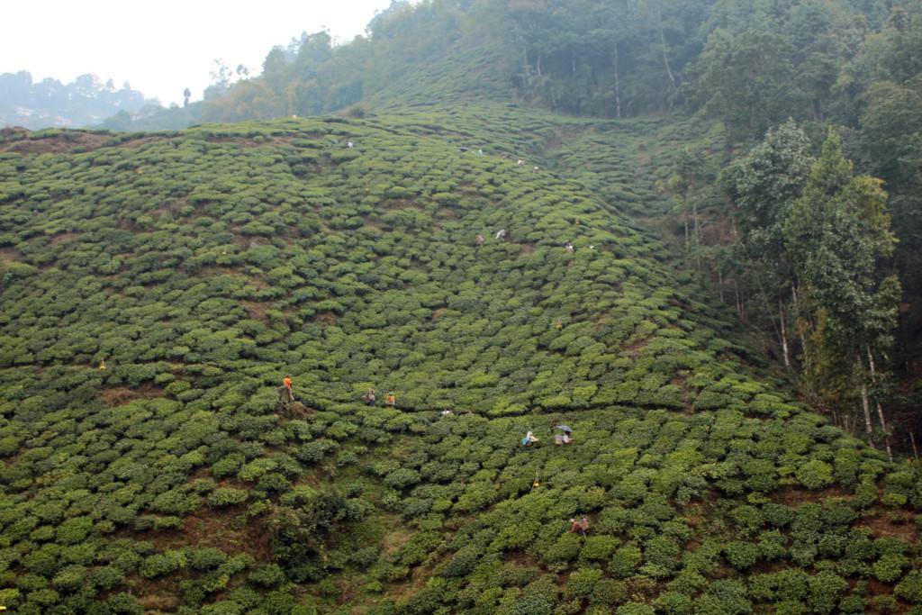 Çay tarlaları